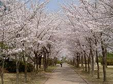 white cherry blossom cherry blossom