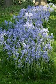 specialty bulbs item 6028 spanish bluebells for sale