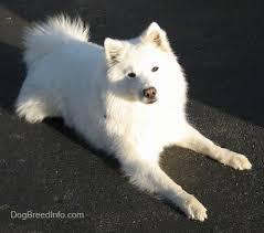 american eskimo dog michigan american eskimo dog breed information and pictures my prince