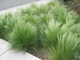 nassella tenuissima stipa tenuissima mexican feather grass