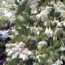 japanese native plants fragrant fountain japanese snowbell at wayside gardens