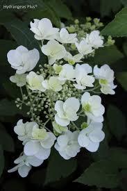 white hydrangeas paniculata white moth