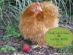 the chicken 5 healthy treats for chickens and 3 food myths