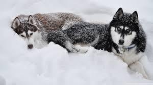 two huskies in the snow hd desktop wallpaper high definition