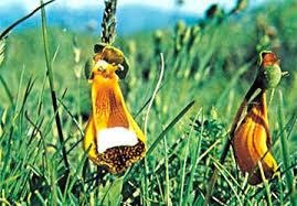 slipper flower slipper flower plant britannica