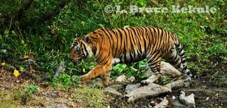 the indochinese tiger lord of the jungle wildlife photography in
