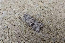 upper thames moths march 2015