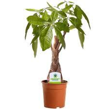 live indoor plants pachira aquatica 1 plant house office live indoor plant tree