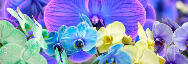 Purple Orchids The Amazing True History Of Orchids And What Their Colors