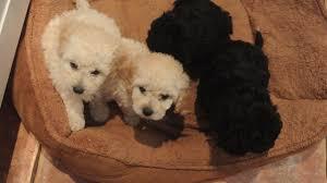 poodle vs bichon frise toy poodle x bichon frise chippenham wiltshire pets4homes