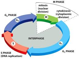 unit 4 cell cycle