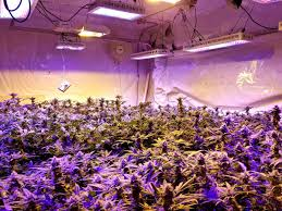 Grow Lights For Indoor Plants Canada by The Real Story About Led Grow Lights For Marijuana