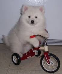 american eskimo dog nz the pomerian a best indoor pet dog home decor pinterest