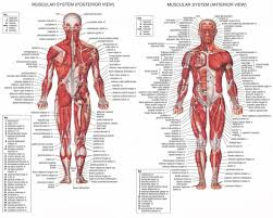Human Physiology And Anatomy Pdf Anatomy Of The Human Body Pdf Periodic Tables