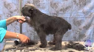 affenpinscher monkey dog how to groom dogs the affenpinscher with judy hudson youtube