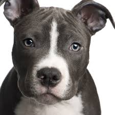 american pitbull terrier dog images american pitbull terrier dogs breeds pets