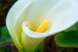 Calla Lily Flower Delivery - calla lily flower flowers world