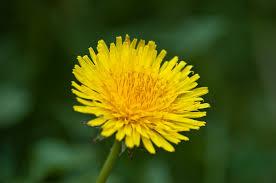 Weed Or Flower Pictures - dandelion taraxacum officinale garden weed or wildflower urban