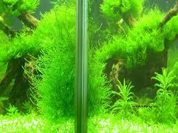 Java Moss Aquascape Untitled Document