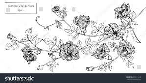 butterfly pea flowers drawing sketch lineart stock vector
