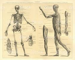 Human Anatomy Skeleton Diagram Human Anatomy Skeleton And Muscles Of The Body Stock Vector Art