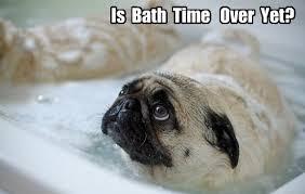 Sad Pug Meme - 13 best pugs images on pinterest animals adorable animals