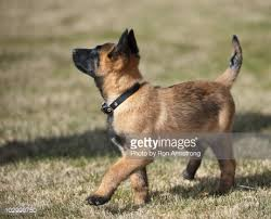 belgian malinois puppies 6 months belgian malinois puppy stock photo getty images