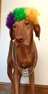 mardi gras dog collar 4 rubie s mardi gras afro dog wig with same day shipping baxterboo