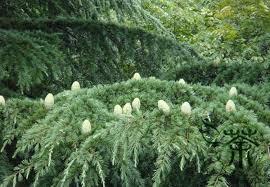 excellent evergreen tree cedrus deodara seeds 60pcs garden