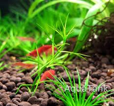 australian native water plants crassula australian aquarium plant aquatank rare aquarium plants