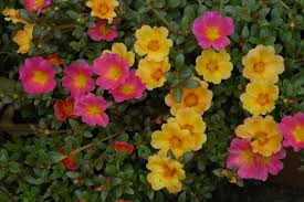 flowers in garden images file unidentified portulaca flowering in a garden 3 jpg
