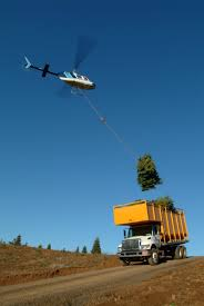 the global christmas tree trade starts with helicopter harvesting