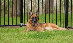 belgian shepherd for sale australia aimsway german shepherd dog and german shepherd puppy breeder