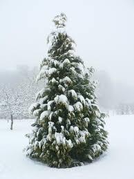 file snow on cypress tree jpg wikimedia commons