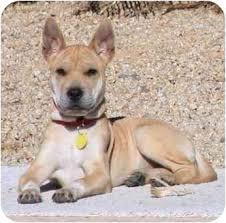 australian shepherd quesnel kala adopted puppy gilbert az shar pei australian cattle