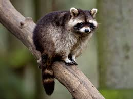 raccoon escapes from flooded somerset zoo the independent