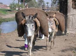 L'âne de L'Égypte dans ANE