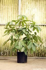 25 Easy Houseplants Easy To by Schefflera Amate This Big Bold U0026 Beautiful Houseplant Screams