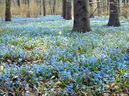 image detail for file berlin tiergarten springtime scilla jpg