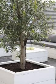 backyard garden patio with olive tree ideas planting trees dreaded
