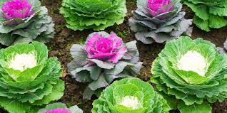 ornamental cabbages offer fall color extension daily
