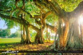 Park West Landscape by Banyan Tree At Dreher Park West Palm Beach