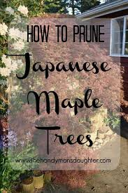 how to prune japanese maple trees the handyman s