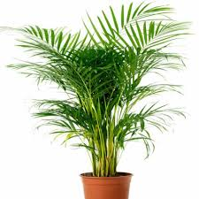 indoor plants india buy indoor air purifying plants in india air purifiers online
