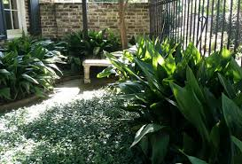 native japanese plants cast iron plant monrovia cast iron plant