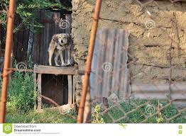dog chained next to an old barn stock photo image 77853176