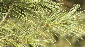 white pine tree eastern white pine monarch of the forest