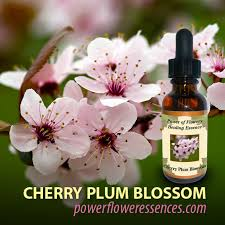 cherry blossom flowers cherry blossom flower essence isha lerner healing remedy