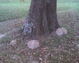 White Oak Tree Bark Mid Missouri Morels And Mushrooms Hens And Oaks A Tip For