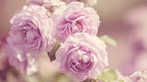 pink roses vintage 4k hd desktop wallpaper for 4k ultra hd tv
